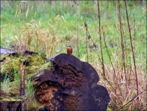 kralingse bos ijsvogel