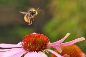bumblebee-538595_geheel
